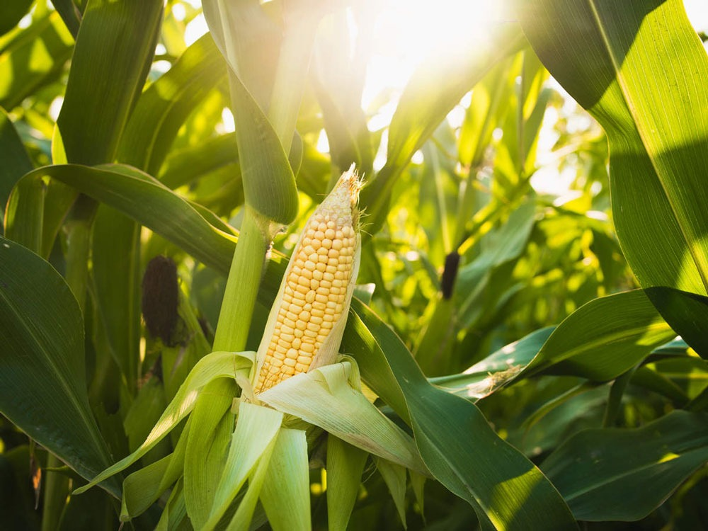 Difference Between Corn and Maize