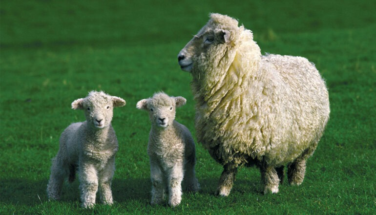 Difference Between Lamb and Sheep