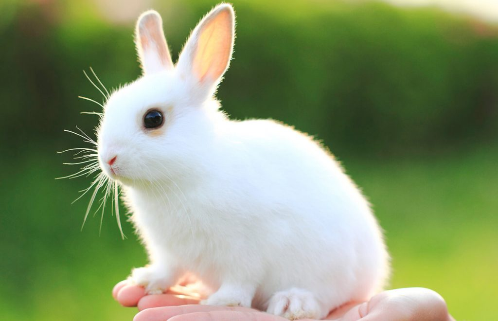 Difference Between Rabbit and Bunny