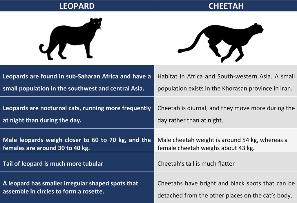 Difference-Between-Leopard-and-Cheetah