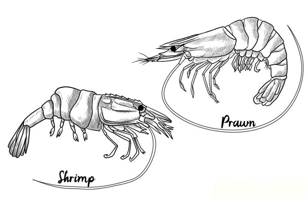difference-between-shrimp-and-prawn